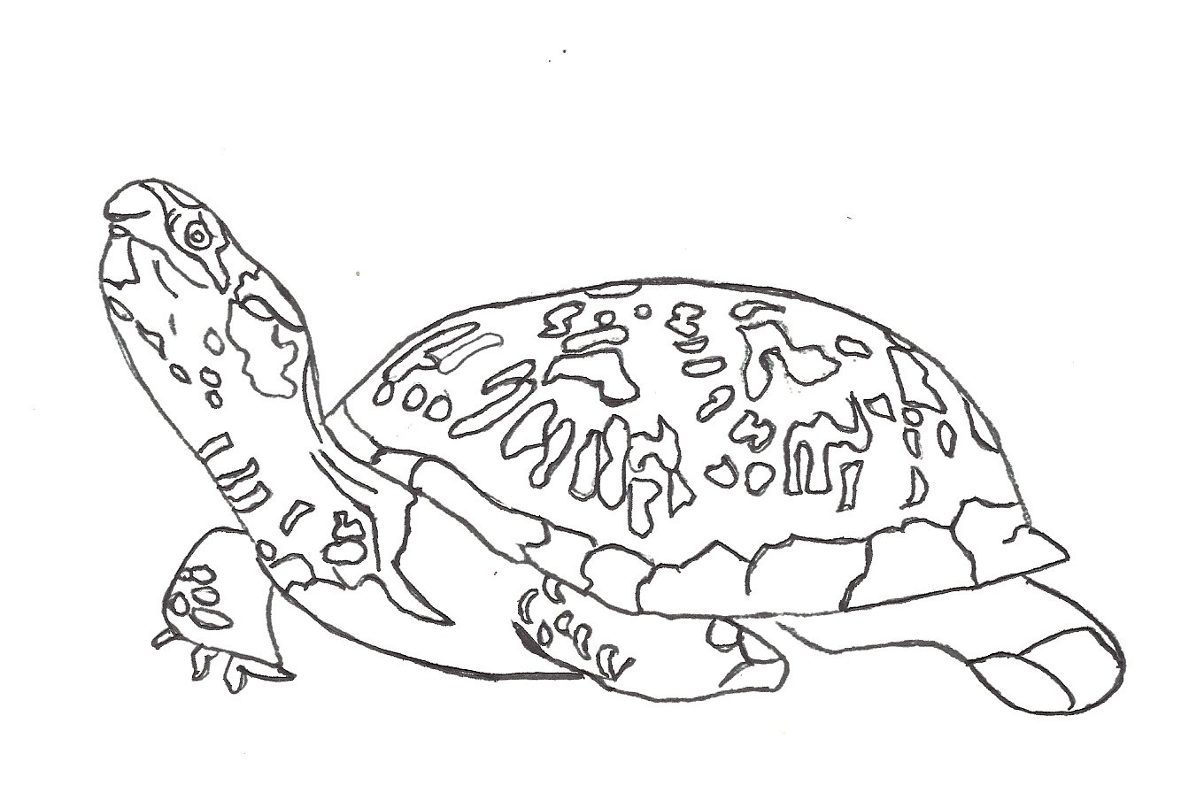 free coloring turtle pages - photo#24