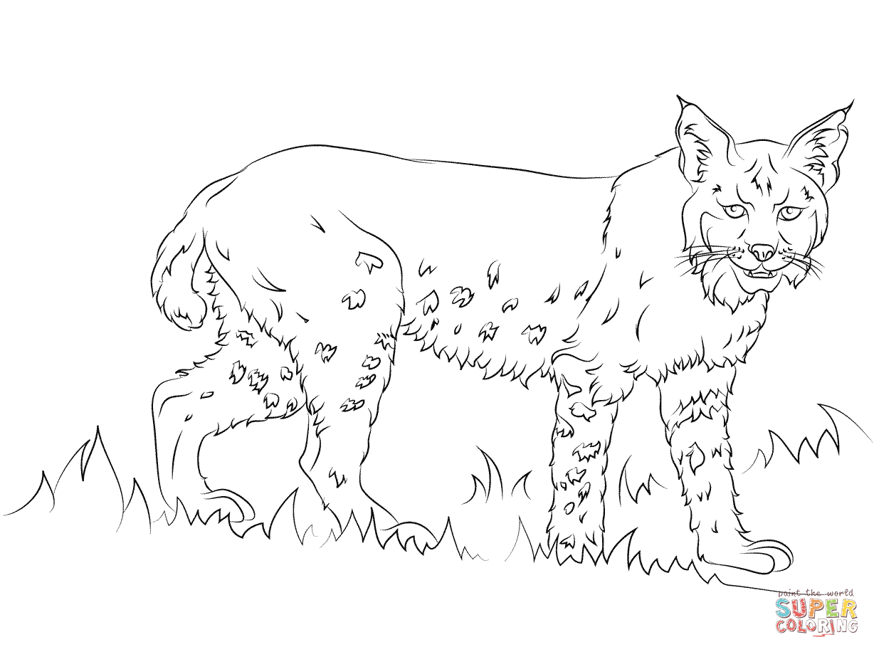 baby bobcat coloring pages - photo #20