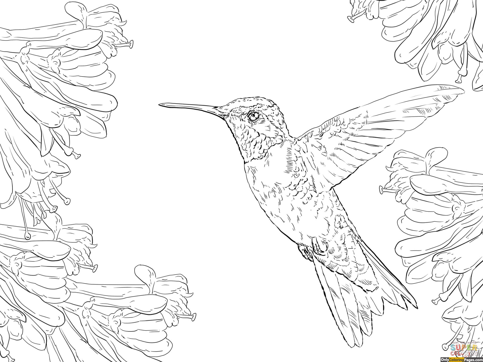 Ruby throated hummingbird coloring pages free printable for Coloring pages of hummingbirds