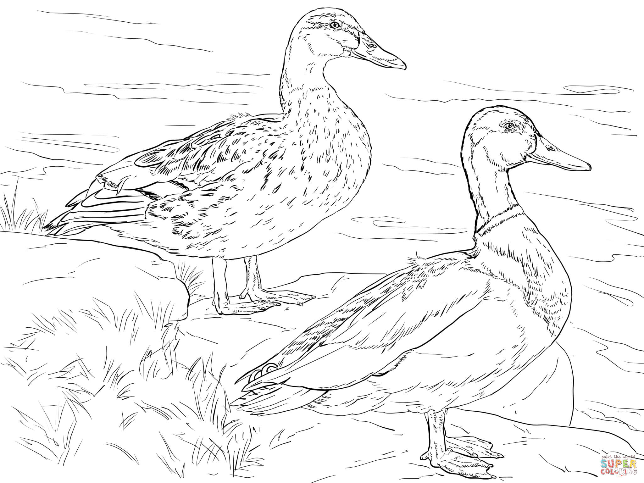 pages, Mallard, duck, coloring