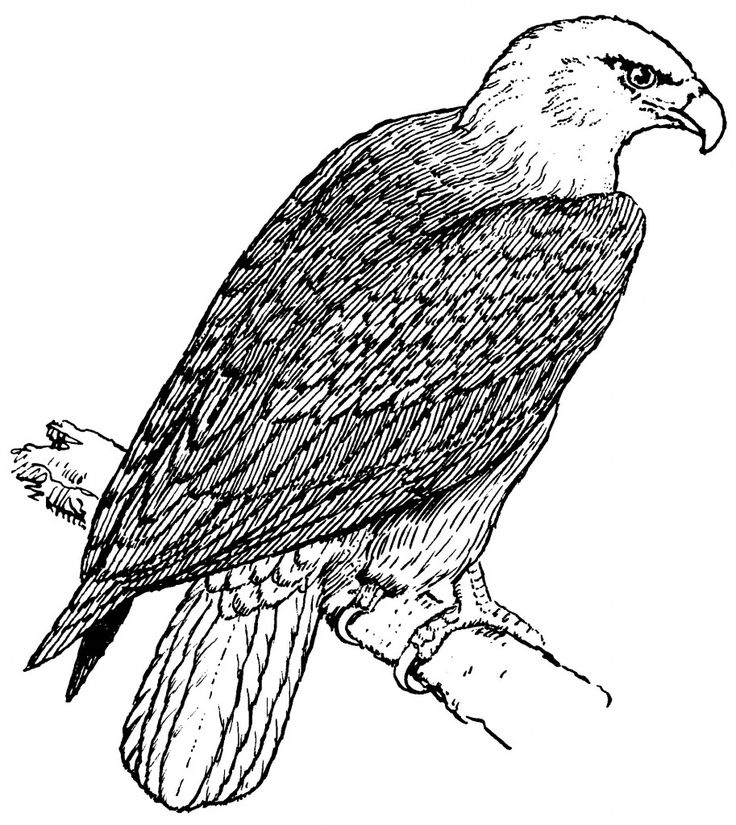 for teens Free Printable Bald Eagle Coloring Pages For Kids already colored