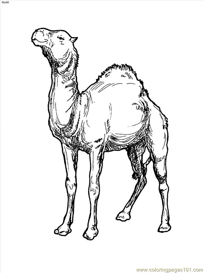 pdf Free Printable Camel Coloring Pages For Kids for adults