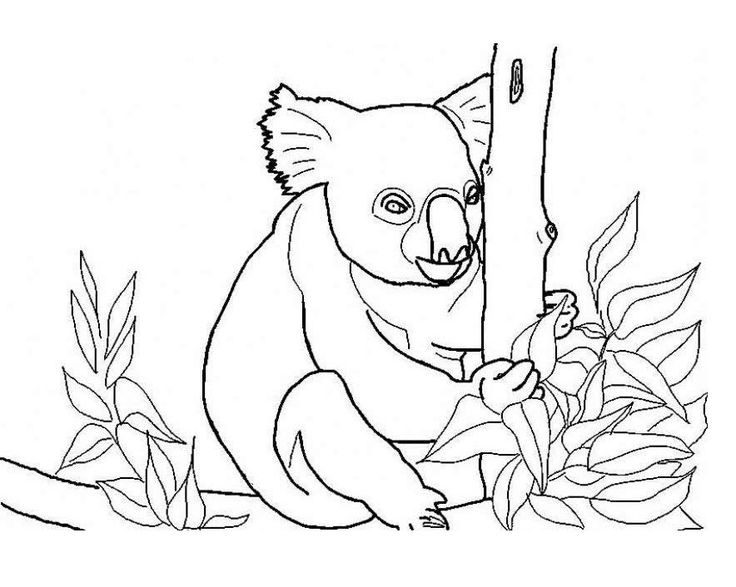 preschool Free Printable Koala Coloring Pages For Kids already colored