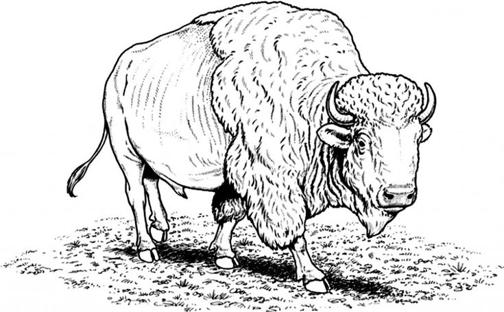 online Free Printable Bison Coloring Pages For Kids printable