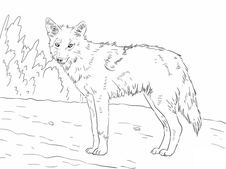 printable Free Printable Coyote Coloring Pages For Kids for teens