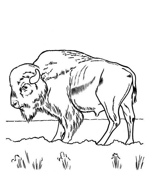 free printable Free Printable Bison Coloring Pages For Kids already colored